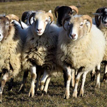 pecore ahimsa amore di lana 1